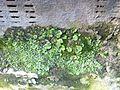 Печіночний мох Marchantia polymorpha.jpg
