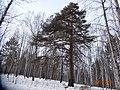 Самое могучее дерево ^ - panoramio.jpg