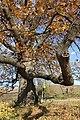Споменик природе - стабло храста цера у Доњој Црнући крај Горњег Милановца 08.jpg