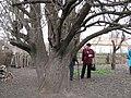 Старовинна груша на Карнаватці 26.jpg