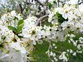شکوفه های بهاری شهر خامنه - panoramio (5).jpg