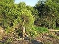 پایان عمر درخت پرتقال - panoramio.jpg