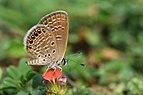 கிழக்கத்திய சிறிய நீலன் - Oriental Grass Jewel - Freyeria putli.jpg