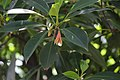 പേനക്കണ്ടല് Bruguiera gymnorhiza.jpg