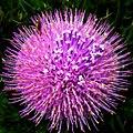 南國薊 Cirsium japonicum - panoramio.jpg
