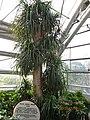 南山植物园-温室-龙血树 - panoramio.jpg