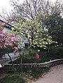 宝塔山公园的郁金樱花.jpg