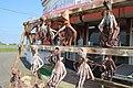 干しダコ(Dried octopus) - panoramio.jpg
