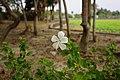 朱錦 Hibiscus rosa-sinensis - panoramio.jpg
