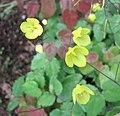 無距淫羊藿 Epimedium ecalcaratum -比利時 Ghent University Botanical Garden, Belgium- (9213324635).jpg