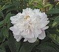 芍藥-沙金貫頂 Paeonia lactiflora 'Gold-Sand Topping' -瀋陽植物園 Shenyang Botanical Garden, China- (12380140075).jpg