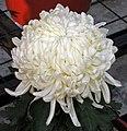 菊花-安陽三號 Chrysanthemum morifolium 'Anyang -3' -中山小欖菊花會 Xiaolan Chrysanthemum Show, China- (11961469733).jpg