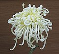 菊花-班中玉笏 Chrysanthemum morifolium 'Multitude of Talent' -香港房委樂富花展 Lok Fu Flower Show, Hong Kong- (12010752986).jpg