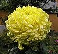 菊花-綠繡球 Chrysanthemum morifolium 'Green Embroidered Ball' -香港雲泉仙館 Ping Che, Hong Kong- (12049302185).jpg