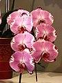 蝴蝶蘭 Phalaenopsis Taisuco Pagoda -台南國際蘭展 Taiwan International Orchid Show- (39129452290).jpg