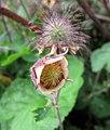 路邊青屬 Geum Princess Juliana -比利時 Leuven Botanical Garden, Belgium- (9213294965).jpg