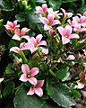長壽花 Kalanchoe blossfeldiana -香港動植物公園 Hong Kong Botanical Garden- (13348772424).jpg
