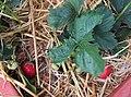 -2020-06-06 Strawberry plant with fruit, (Fragaria × ananassa), Trimingham.JPG