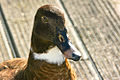 01 New Zealand Shoveler Duck-0057.jpg