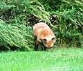 037 Red Fox (8057817553).jpg