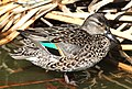 039 - GREEN-WINGED TEAL (3-26-13) mustang island, nueces co, tx (3) (8714443294).jpg