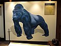 042 Zoo de Barcelona, Espai Goril·les, goril·la de l'est (Gorilla beringei).jpg