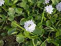 06319jfBarangay Flowers Pansinao Candaba Mount Arayat Pampanga Riverfvf 17.JPG