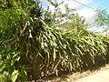 0638jfPaddy fields Pitaya Ilog-Bulo San Miguel Bulacan Farm Market Roadfvf 02.jpg