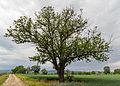 068 2015 05 25 Speierling südlich von Meckenheim (Wiki Loves Earth 2015).jpg