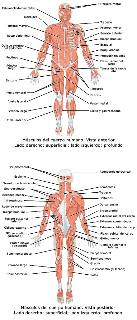 1105 Anterior and Posterior Views of Muscles esp.jpg
