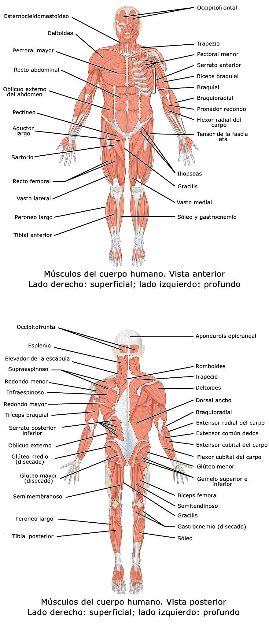 Sistema muscular - Wikiwand