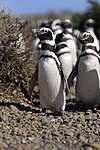 Megallanic Penguin