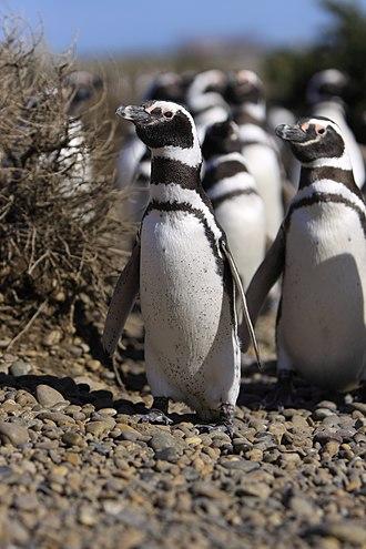 Banded penguin - Megallanic penguin