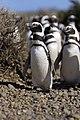 137 - Cap Virgenes - Manchot de Magellan - Janvier 2010.JPG