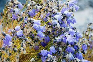 Campanula rotundifolia - Campanula rotundifolia in Illulissat, Greenland at near 70 degrees North latitude