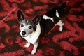 16 year old Rat Terrier.png