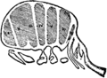 1911 Britannica-Arachnida-Kishinouye.png