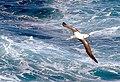 2007 Snow-Hill-Island Luyten-De-Hauwere-Wandering-Albatross-01.jpg