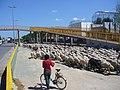 2008 04 09 Ovelles pasturant pel barranquet d'Aldaia vora la línia C-3 d'Adif 07.jpg
