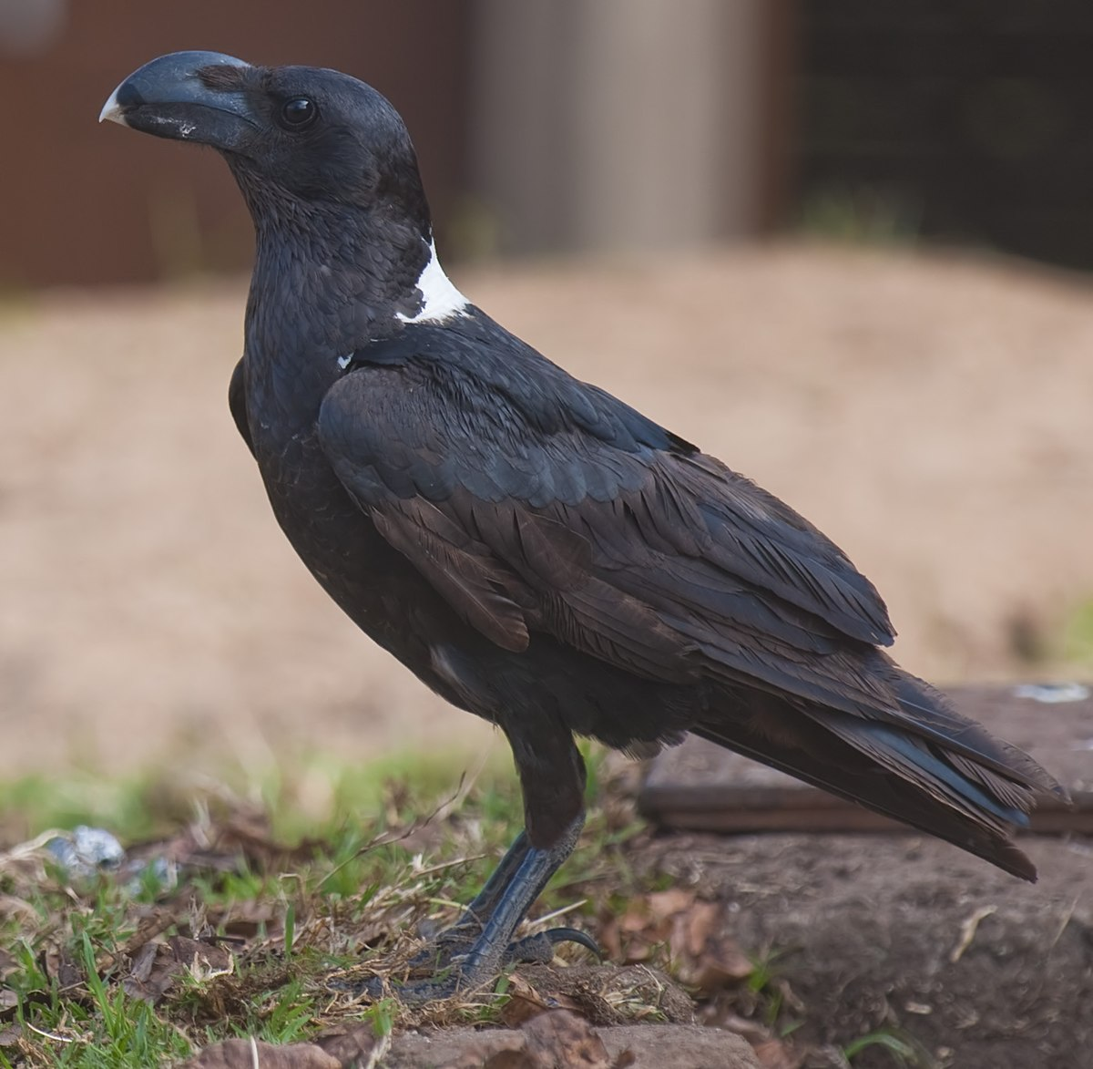 White Necked Raven Wikipedia