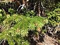 2013-07-14 10 27 54 Douglas-fir foliage near 9000 fett along Wheeler Peak Scenic Drive.jpg