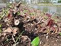20130417Reynoutria japonica1.jpg