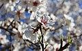 2013 Spring blossoms of Shahr-e Kord 24.jpg