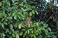 2014 Borneo Luyten-De-Hauwere-Proboscis monkey-04.jpg