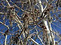 2015-03-27 15 47 17 Quaking Aspen catkins at Great Basin College in Elko, Nevada.JPG