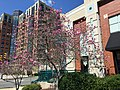 2015-04-11 13 28 17 Ann Magnolia in bloom on New Dominion Parkway in Reston, Virginia.jpg