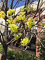 2015-04-11 13 31 58 Norway Maple blossoms on New Dominion Parkway in Reston, Virginia.jpg
