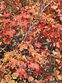 2015-09-29 12 38 45 Autumn foliage of Bigtooth Maple in Little Cottonwood Canyon, Utah.jpg