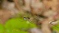 2015.05.08.-12-Kaefertaler Wald-Mannheim--Baldachinspinne-Neriene radiata-Weibchen.jpg