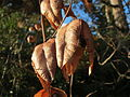 20151128Koelreuteria paniculata1.jpg